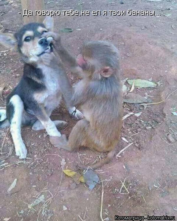 Котоматрица: - Да говорю тебе,не ел я твои бананы...