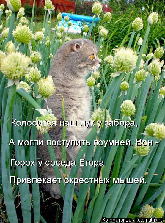 Котоматрица: Колосится наш лук у забора, А могли поступить поумней. Вон - Горох у соседа Егора Привлекает окрестных мышей.