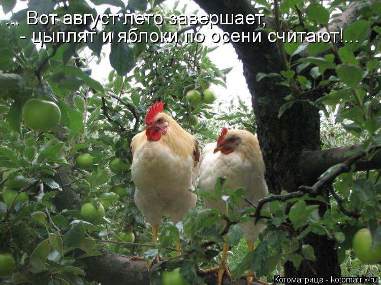 Котоматрица: ... Вот август лето завершает, - цыплят и яблоки по осени считают!...