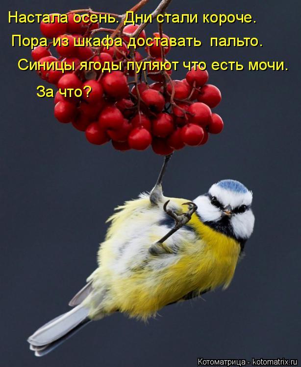 Котоматрица: Настала осень. Дни стали короче. Пора из шкафа доставать  пальто. Синицы ягоды пуляют что есть мочи. За что?