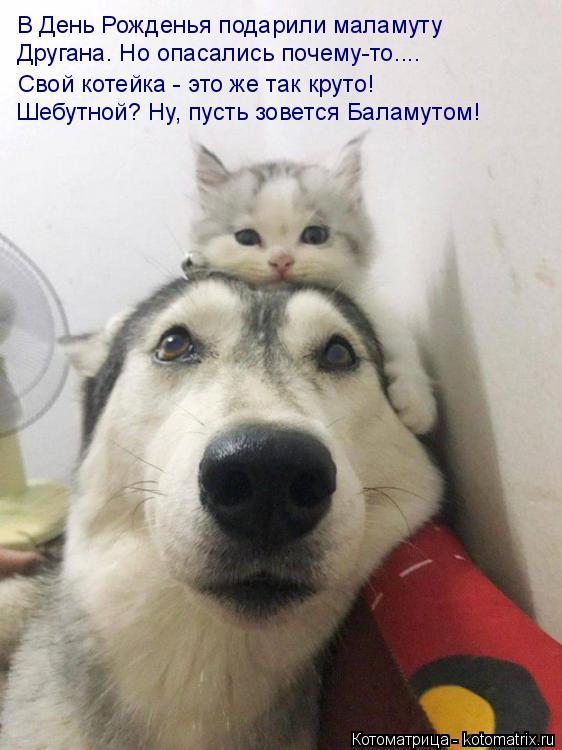 Котоматрица: В День Рожденья подарили маламуту Другана. Но опасались почему-то.... Свой котейка - это же так круто! Шебутной? Ну, пусть зовется Баламутом!