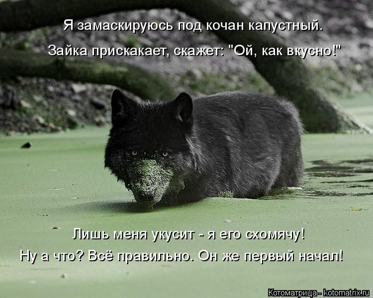 """Котоматрица: Я замаскируюсь под кочан капустный. Зайка прискакает, скажет: """"Ой, как вкусно!"""" Лишь меня укусит - я его схомячу! Ну а что? Всё правильно. Он же"""