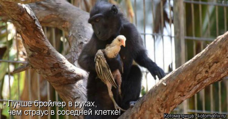 Котоматрица: чем страус в соседней клетке! - Лучше бройлер в руках,