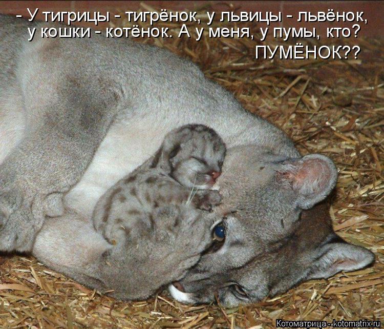 Котоматрица: - У тигрицы - тигрёнок, у львицы - львёнок, у кошки - котёнок. А у меня, у пумы, кто? ПУМЁНОК??