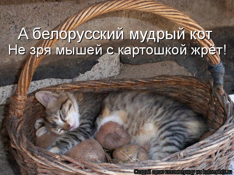 Котоматрица: А белорусский мудрый кот Не зря мышей с картошкой жрёт!
