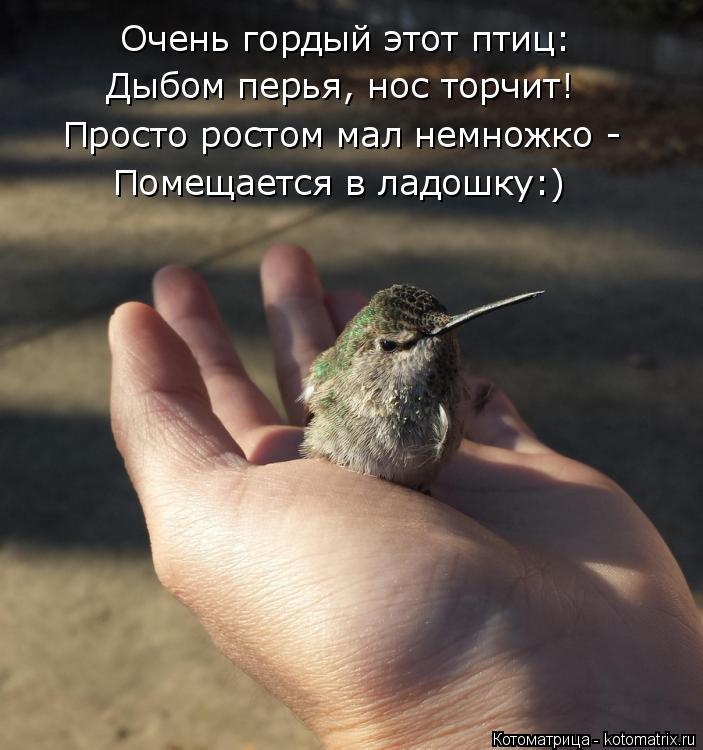 Котоматрица: Очень гордый этот птиц: Дыбом перья, нос торчит! Просто ростом мал немножко - Помещается в ладошку:)