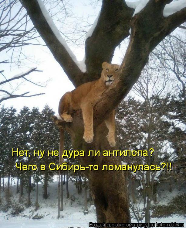 Котоматрица: Нет, ну не дура ли антилопа? Чего в Сибирь-то ломанулась?!!
