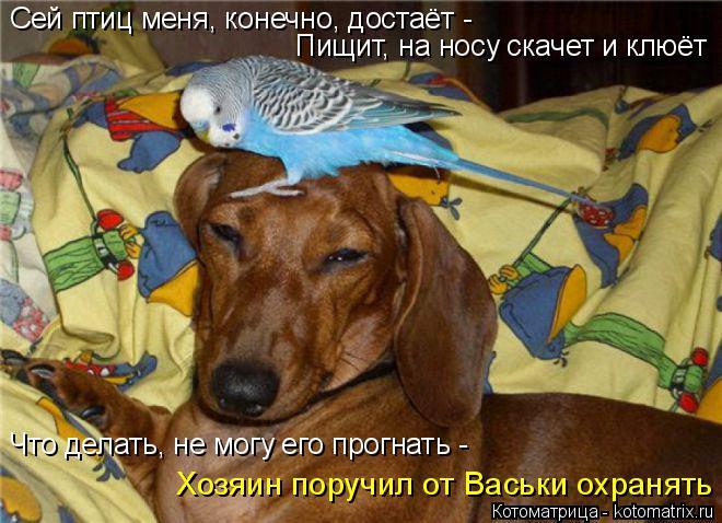 Котоматрица: Пищит, на носу скачет и клюёт Сей птиц меня, конечно, достаёт - Хозяин поручил от Васьки охранять Что делать, не могу его прогнать -