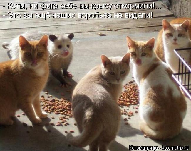 Котоматрица: - Это вы ещё наших воробьёв не видели! - Коты, ни фига себе вы крысу откормили!...
