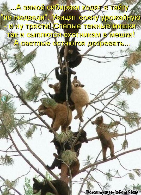 """Котоматрица: ...А зимой сибиряки ходят в тайгу """"по медведи"""". Увидят сосну урожайную - - и ну трясти! Спелые темные мишки так и сыплются охотникам в мешки! А с?"""