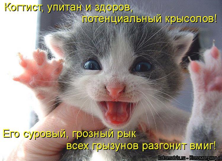 Котоматрица: Когтист, упитан и здоров,  потенциальный крысолов! Его суровый, грозный рык  всех грызунов разгонит вмиг!