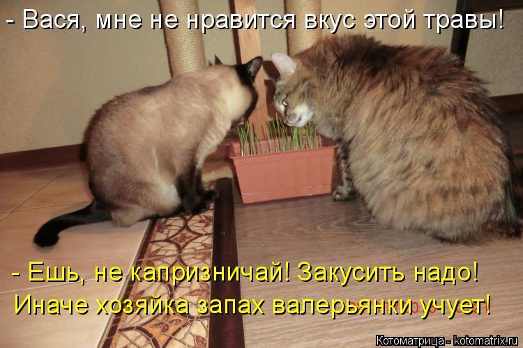 Котоматрица: - Вася, мне не нравится вкус этой травы! Иначе хозяйка запах валерьянки учует! - Ешь, не капризничай! Закусить надо!