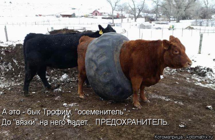 """Котоматрица: А это - бык Трофим, """"осеменитель"""", До """"вязки"""" на него надет... ПРЕДОХРАНИТЕЛЬ."""