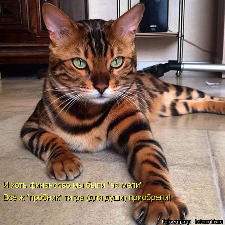 """Котоматрица: И хоть финансово мы были """"на мели"""" Всё ж """"пробник"""" тигра (для души) приобрели!"""