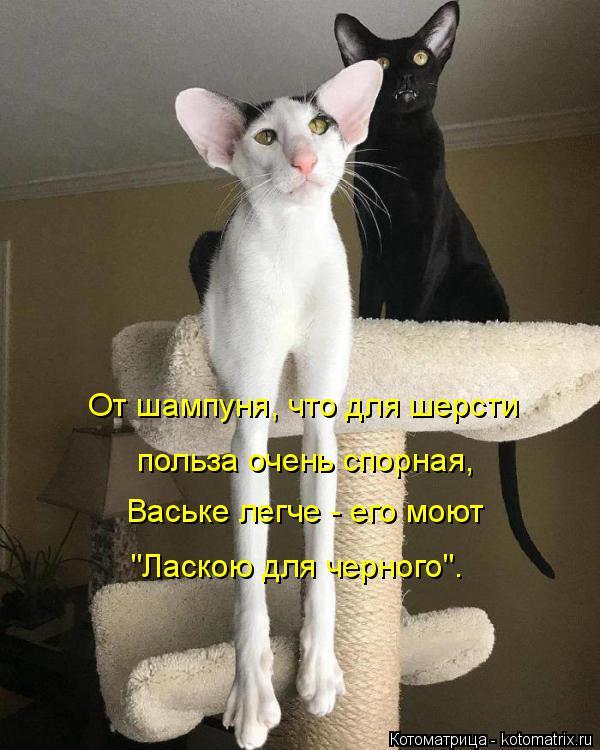 """Котоматрица: От шампуня, что для шерсти польза очень спорная,  Ваське легче - его моют  """"Ласкою для черного""""."""