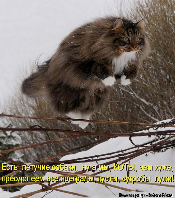 Котоматрица: Есть  летучие собаки,  ну а мы, КОТЫ, чем хуже, преодолеем все преграды, кусты, сугробы, лужи!