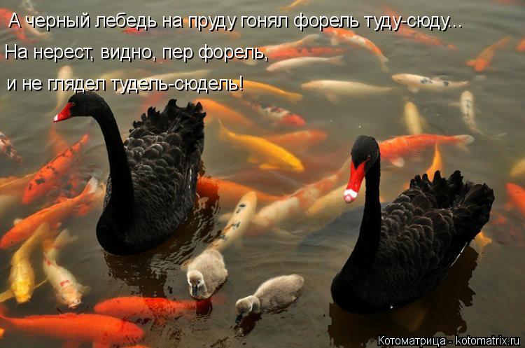 Котоматрица: А черный лебедь на пруду гонял форель туду-сюду... На нерест, видно, пер форель,  и не глядел тудель-сюдель!