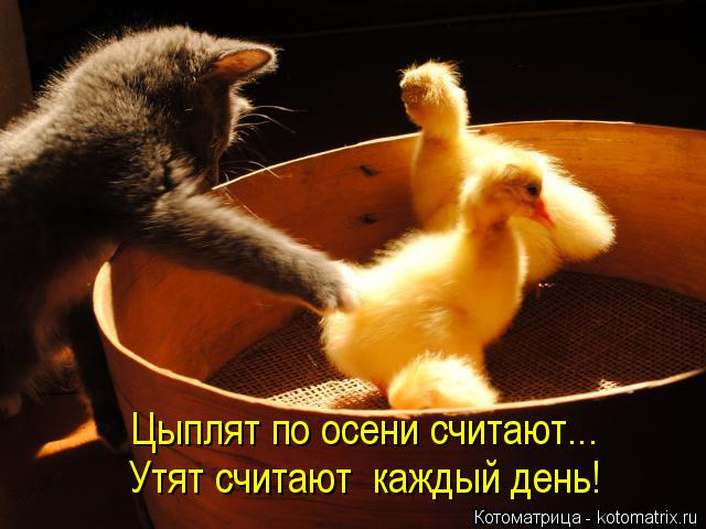 Котоматрица: Цыплят по осени считают... Утят считают  каждый день!