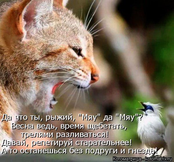"""Котоматрица: Да что ты, рыжий, """"Мяу"""" да """"Мяу""""? Весна ведь, время щебетать, трелями разливаться! Давай, репетируй старательнее! А то останешься без подруги и ?"""