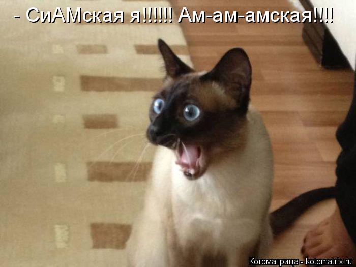 Котоматрица: - СиАМская я!!!!!! Ам-ам-амская!!!!
