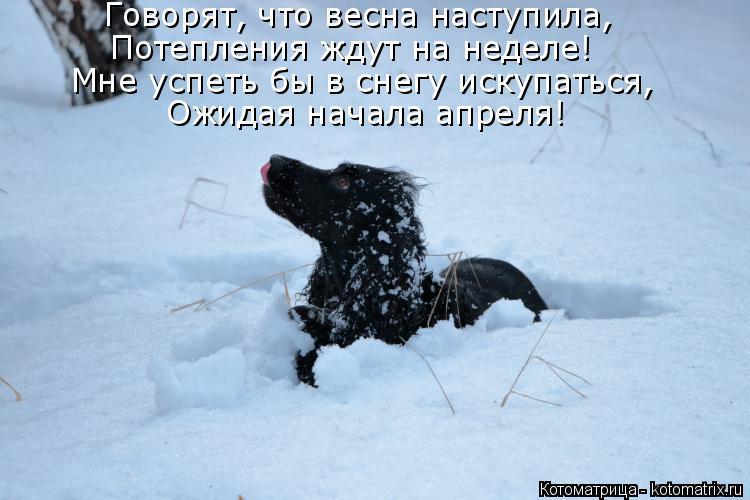 Котоматрица: Говорят, что весна наступила, Потепления ждут на неделе! Мне успеть бы в снегу искупаться, Ожидая начала апреля!