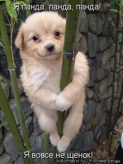 Котоматрица: Я панда, панда, панда!  Я вовсе не щенок!