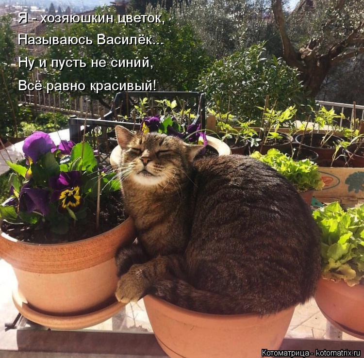 Котоматрица: Я - хозяюшкин цветок, Называюсь Василёк... Ну и пусть не синий, Всё равно красивый!