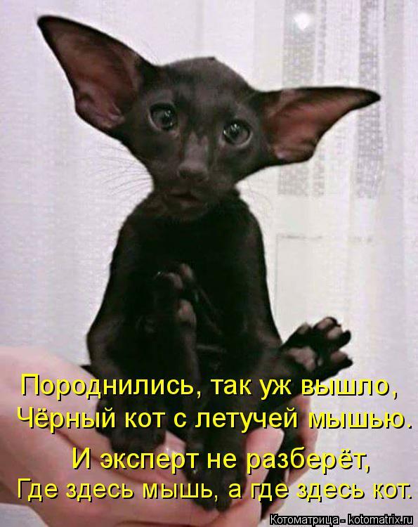 Котоматрица: Породнились, так уж вышло, Чёрный кот с летучей мышью. И эксперт не разберёт, Где здесь мышь, а где здесь кот.