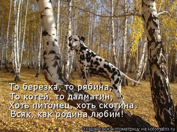 Котоматрица: То березка, то рябина, То котей, то далматин, Хоть питомец, хоть скотина. Всяк, как родина любим!