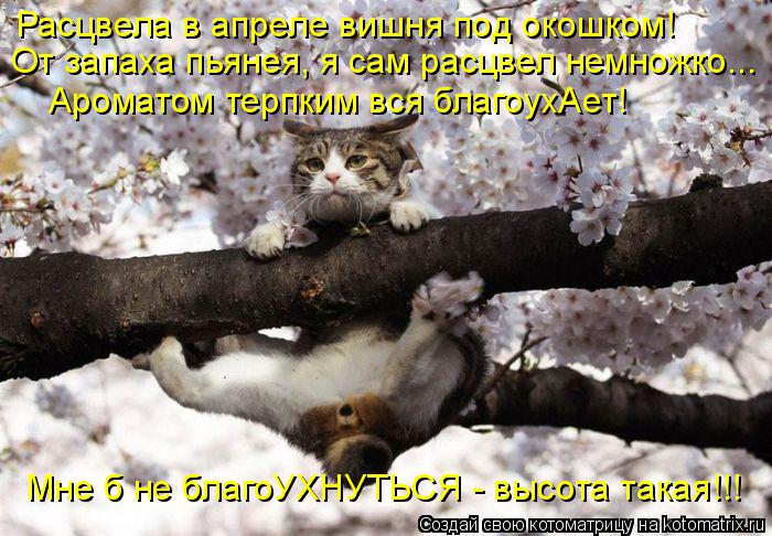 Котоматрица: Расцвела в апреле вишня под окошком! От запаха пьянея, я сам расцвел немножко... Ароматом терпким вся благоухАет! Мне б не благоУХНУТЬСЯ - выс