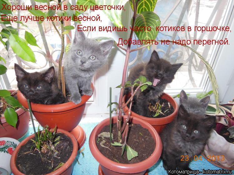 Котоматрица: Хороши весной в саду цветочки, Еще лучше котики весной, Если видишь часто  котиков в горшочке, Добавлять не надо перегной.