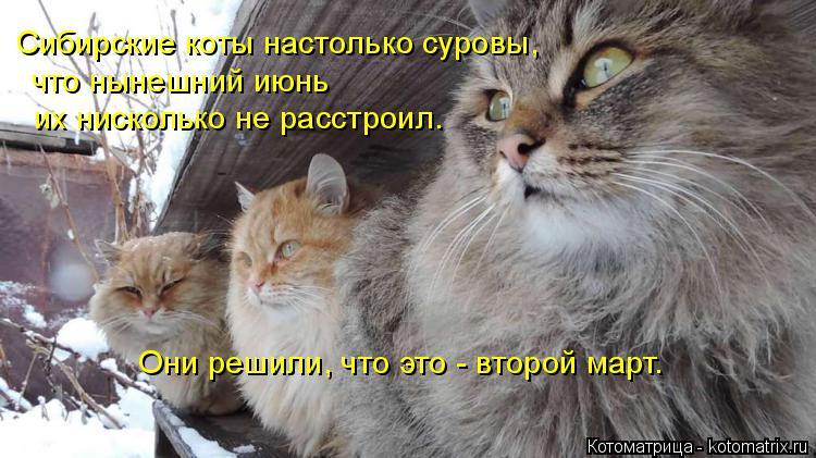 Котоматрица: Сибирские коты настолько суровы, что нынешний июнь их нисколько не расстроил. Они решили, что это - второй март.