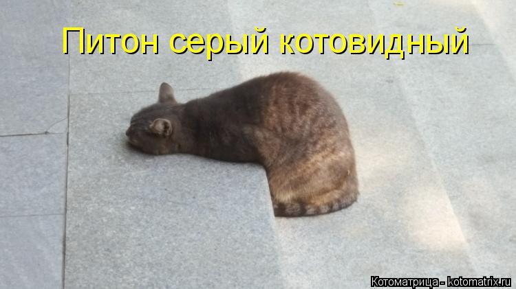 Котоматрица: Питон серый котовидный