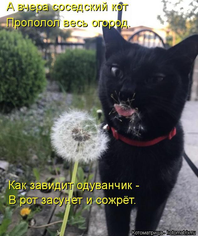 Котоматрица: А вчера соседский кот Прополол весь огород. Как завидит одуванчик - В рот засунет и сожрёт.