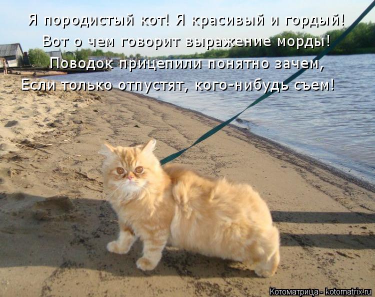 Котоматрица: Я породистый кот! Я красивый и гордый! Вот о чем говорит выражение морды! Поводок прицепили понятно зачем, Если только отпустят, кого-нибудь