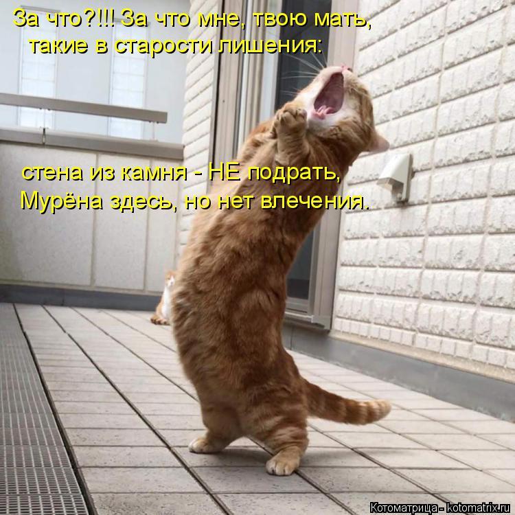 Котоматрица: За что?!!! За что мне, твою мать, такие в старости лишения: стена из камня - НЕ подрать, Мурёна здесь, но нет влечения.