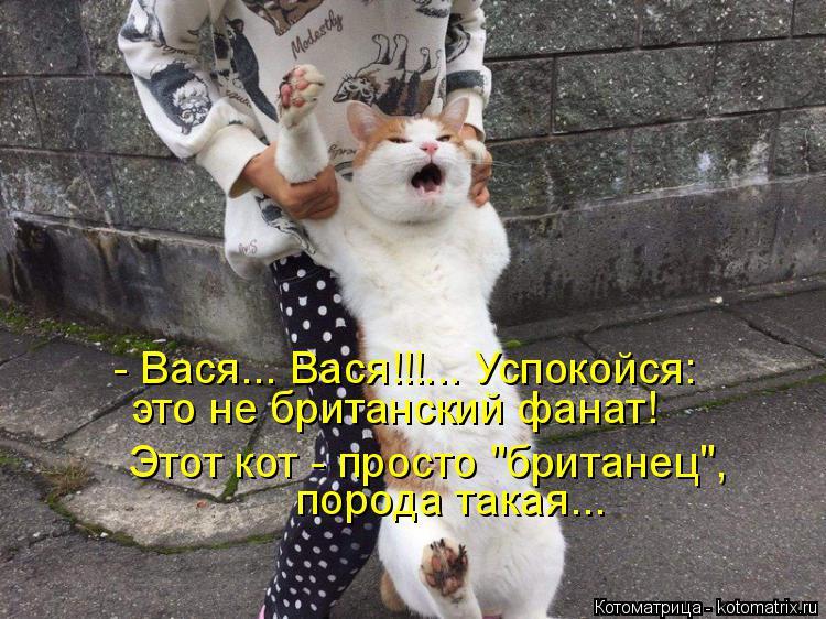 """Котоматрица: - Вася... Вася!!!... Успокойся: Этот кот - просто """"британец"""",  порода такая... это не британский фанат!"""