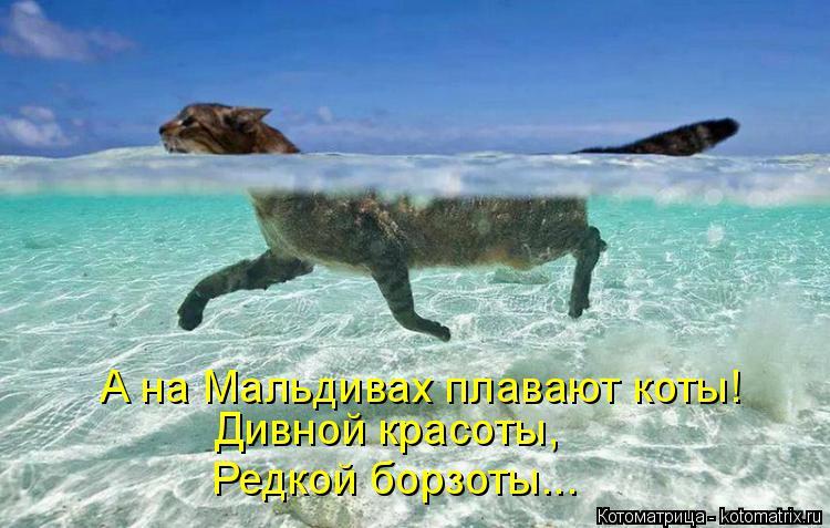 Котоматрица: А на Мальдивах плавают коты! Дивной красоты, Редкой борзоты...