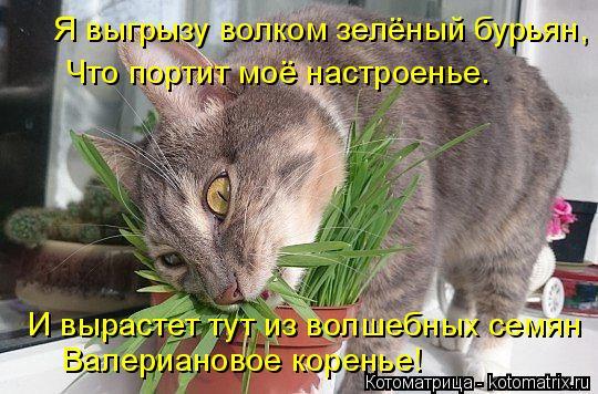 Котоматрица: Я выгрызу волком зелёный бурьян, Что портит моё настроенье. И вырастет тут из волшебных семян Валериановое коренье!