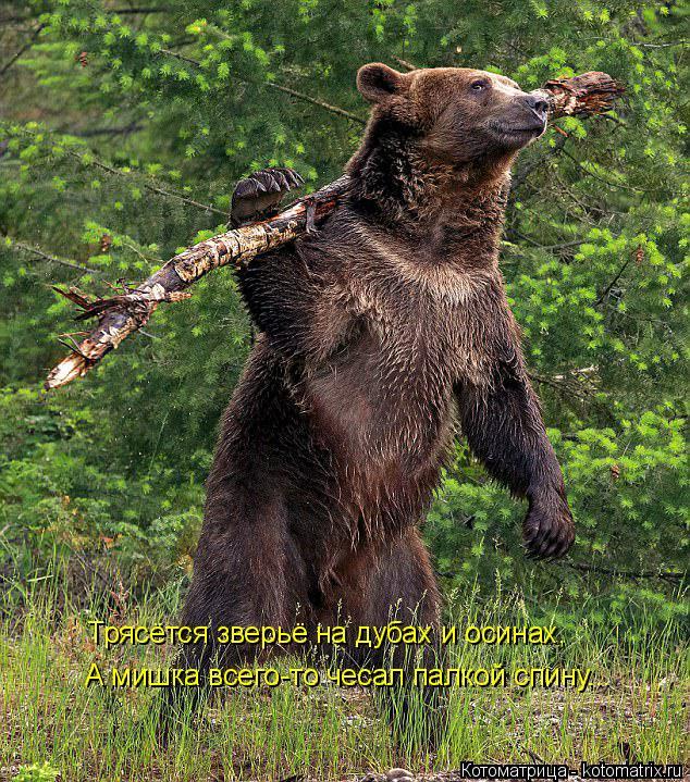 Котоматрица: А мишка всего-то чесал палкой спину... Трясётся зверьё на дубах и осинах,