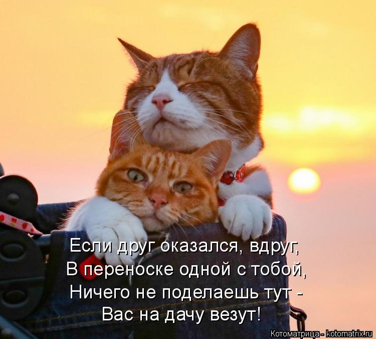 Котоматрица: Если друг оказался, вдруг, В переноске одной с тобой, Ничего не поделаешь тут - Вас на дачу везут!