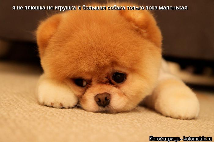 Котоматрица: я не плюшка не игрушка я большая собака только пока маленькая