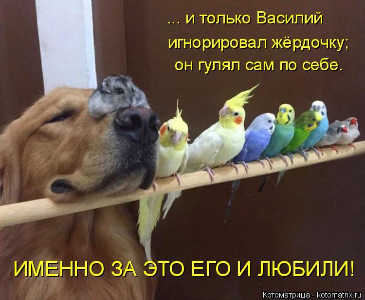 Котоматрица: ... и только Василий игнорировал жёрдочку; он гулял сам по себе. ИМЕННО ЗА ЭТО ЕГО И ЛЮБИЛИ!