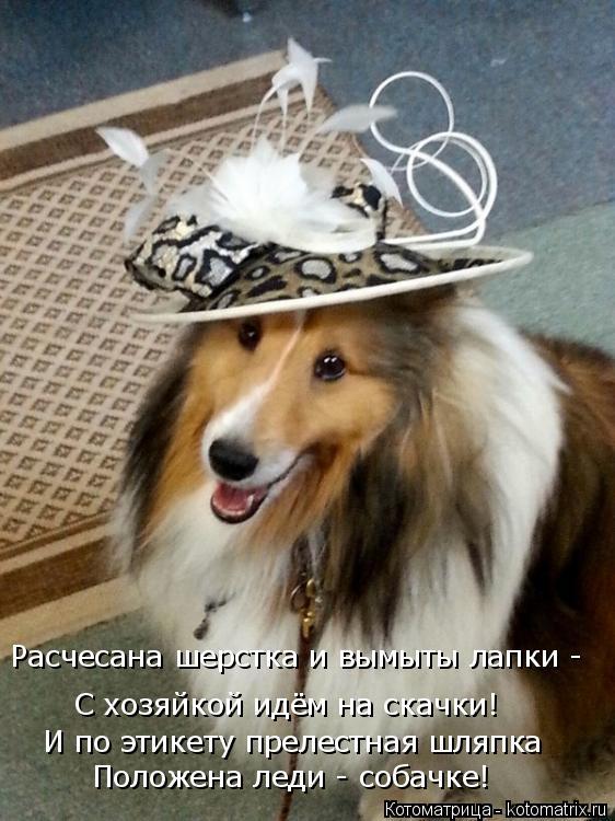 Котоматрица: Расчесана шерстка и вымыты лапки - С хозяйкой идём на скачки! И по этикету прелестная шляпка Положена леди - собачке!