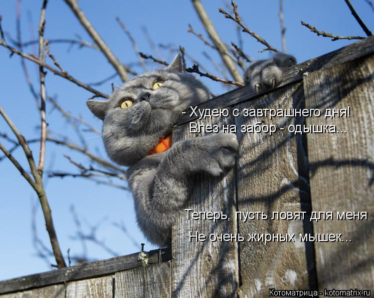 Котоматрица: - Худею с завтрашнего дня! Влез на забор - одышка... Теперь, пусть ловят для меня Не очень жирных мышек...