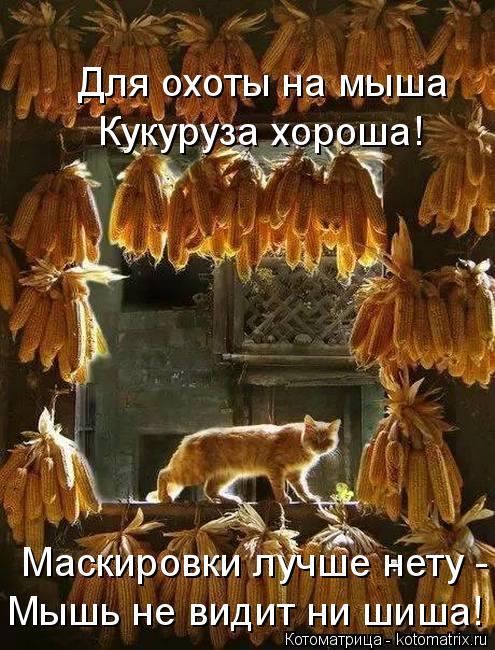 Котоматрица: Кукуруза хороша! Для охоты на мыша Маскировки лучше нету - Мышь не видит ни шиша!
