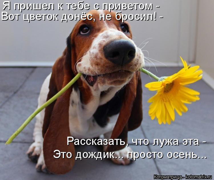Котоматрица: Я пришел к тебе с приветом - Вот цветок донёс, не бросил! - Рассказать, что лужа эта -  Это дождик... просто осень...