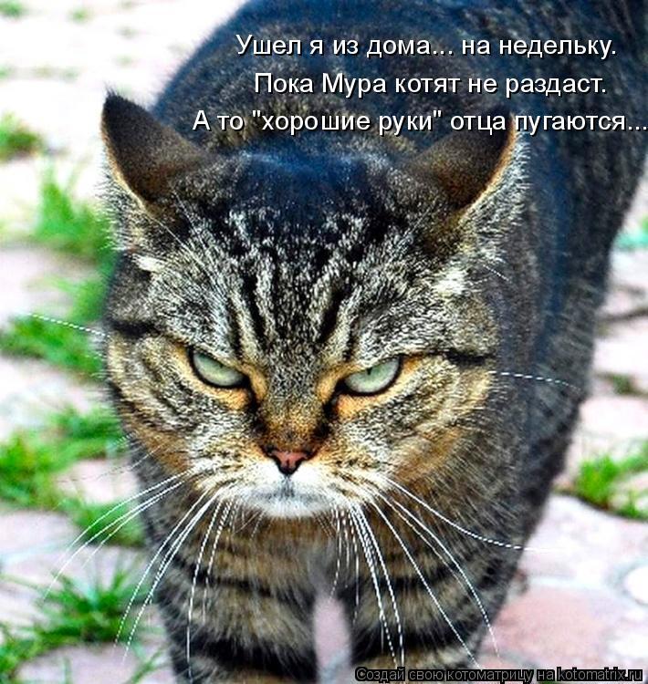 """Котоматрица: Ушел я из дома... на недельку. Пока Мура котят не раздаст. А то """"хорошие руки"""" отца пугаются..."""