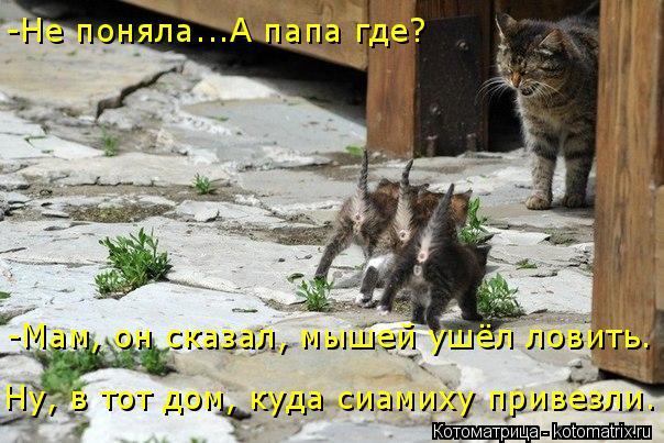 Котоматрица: -Не поняла...А папа где? Ну, в тот дом, куда сиамиху привезли. -Мам, он сказал, мышей ушёл ловить.
