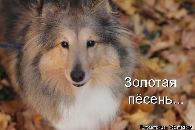 Котоматрица: Золотая пёсень...